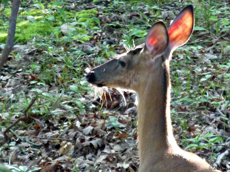 May 20, 2015 - morning sunlight shining on the deer's ears in Bent Tree