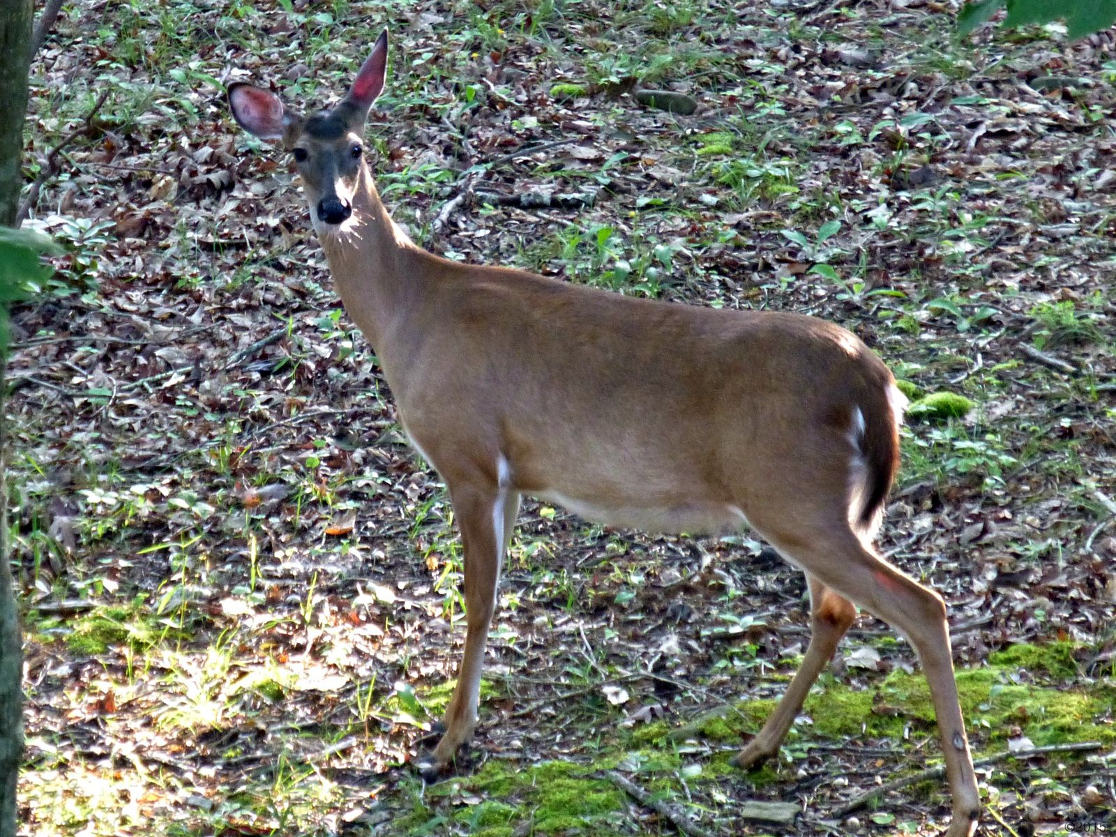 May 20, 2015 - pregnant doe in Bent Tree