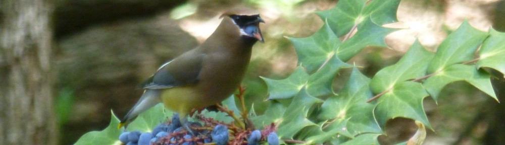 cropped-P1050242-2015-0514-cedar-waxwing-mahonia-berry-eating.jpg