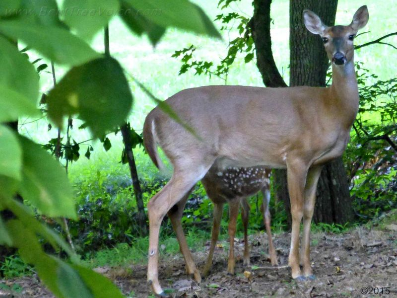 June 14, 2015 - Doe and Fawn in Bent Tree