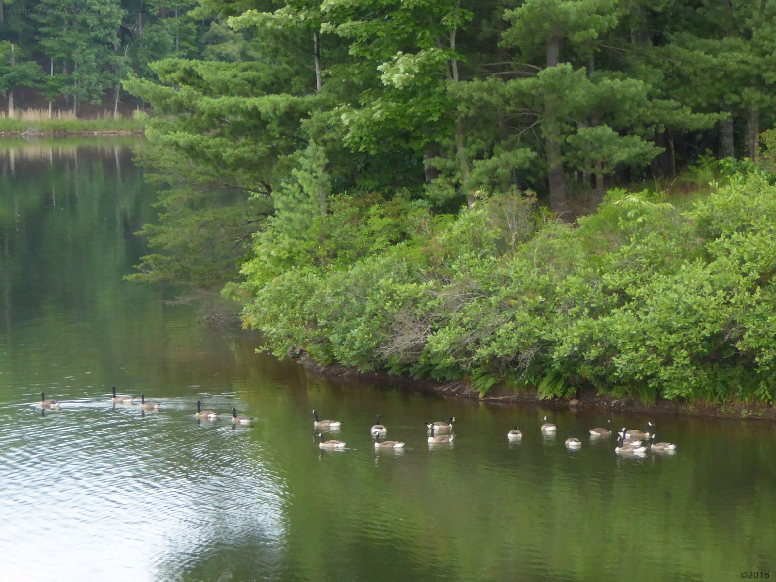 June 30, 2015 - Canada Geese swimming in a quiet part of Lake Tamarack