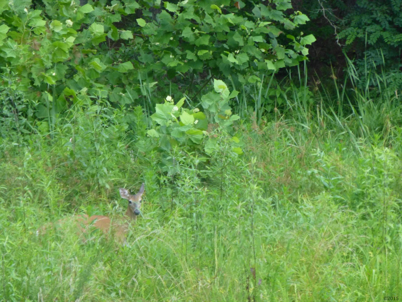 July 4, 2015 - doe appear