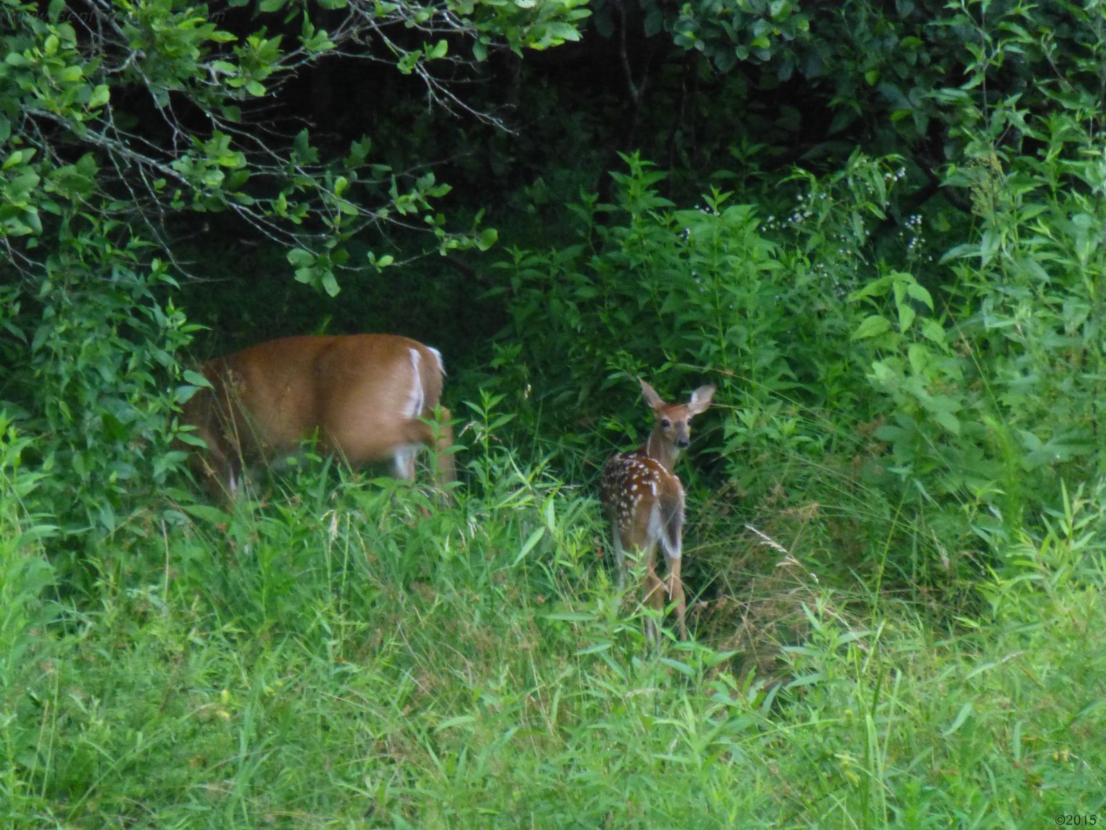July 4, 2015 - fawn appears