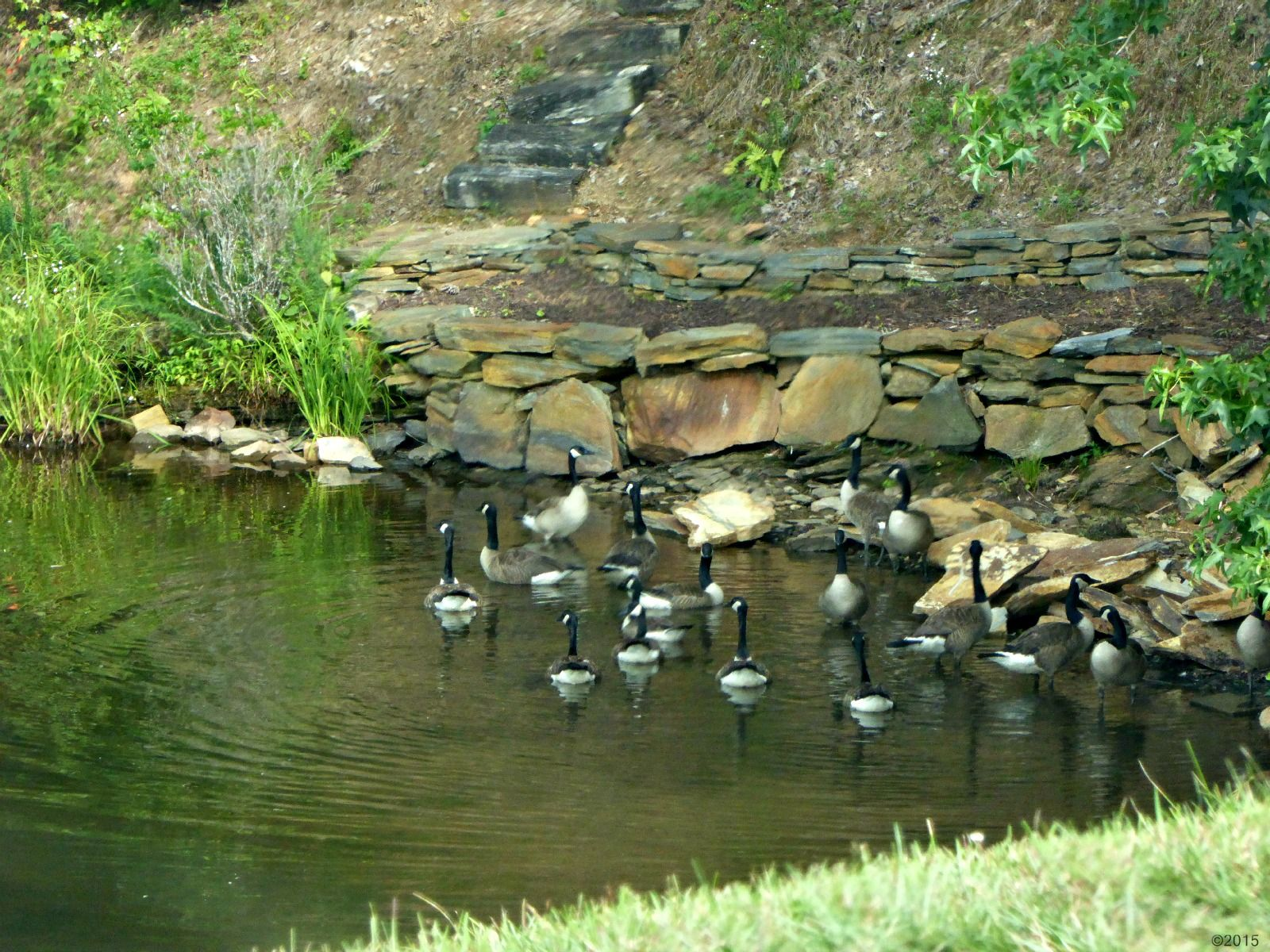 July 7, 2015 - Canada geese in a corner by the dam at Lake Tamarack