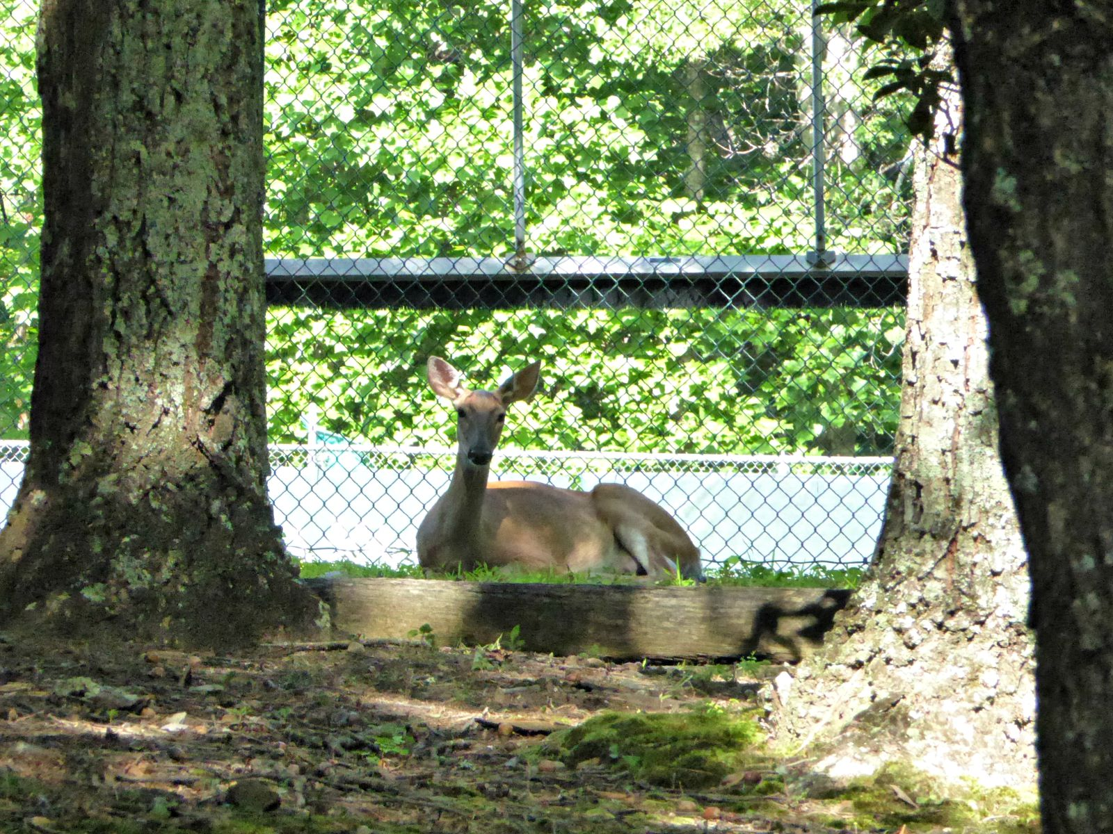July 10, 2015 - doe by Bent Tree Tennis courts
