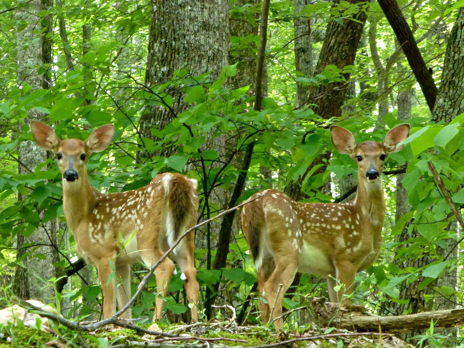 July 25, 2015 - twins fawns in Bent Tree