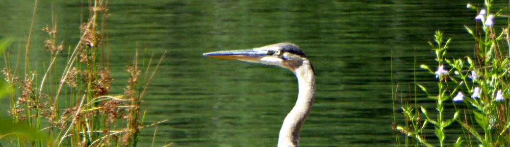 July 22, 2015 - Great Blue Heron in Bent Tree