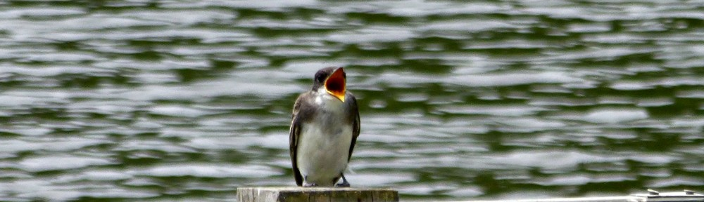 cropped-2015-0723-swallow-header.jpg