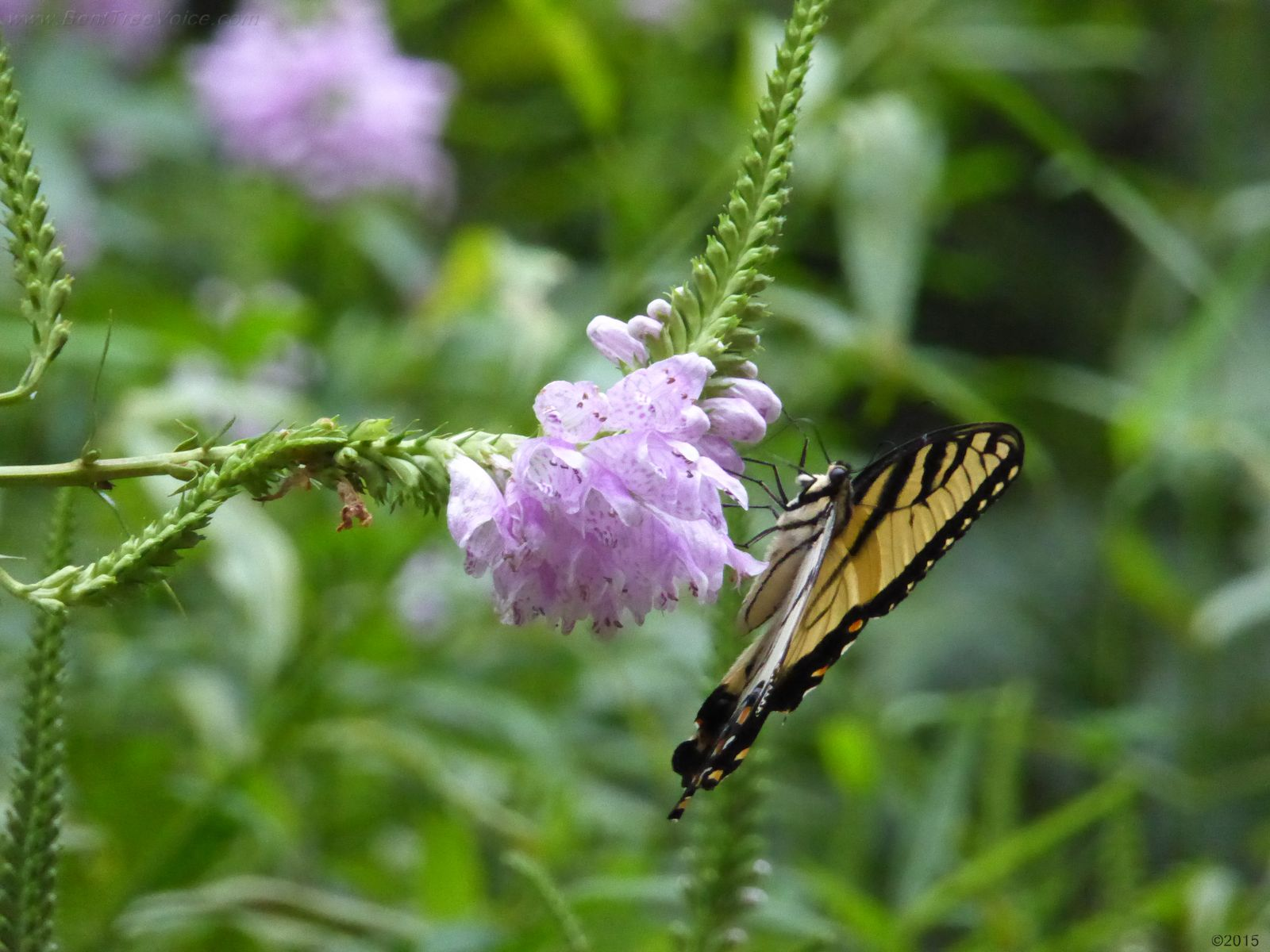 August 16, 2015 - Obedient plant blooming in Bent Tree