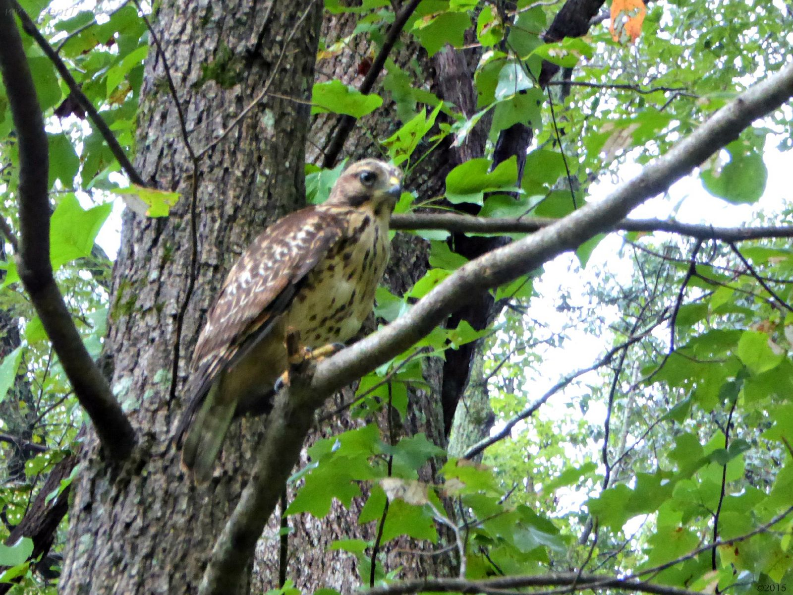 August 18, 2015 - Hawk in Bent Tree