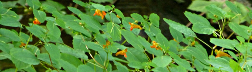 cropped-2015-0830-jewelweed.jpg