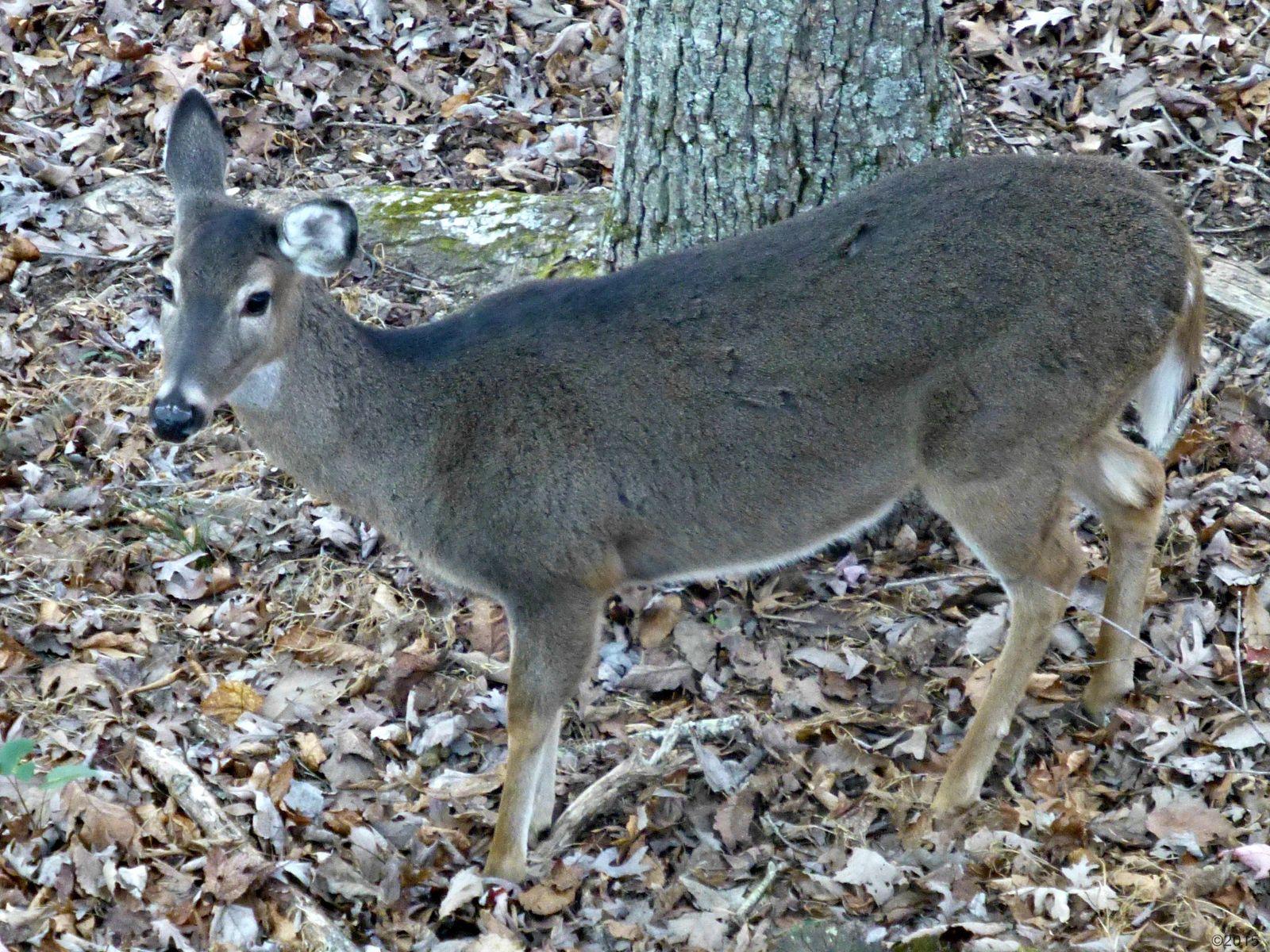November 22, 2015 - Winter coat on deer in Bent Tree