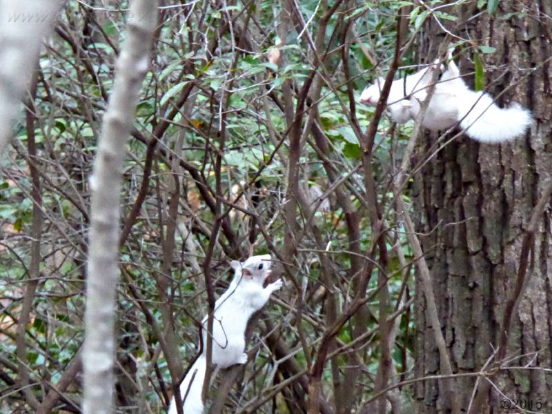 December 16, 2015 - Two white squirrels in Bent Tree
