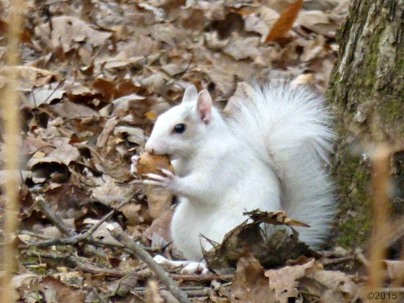 December 16, 2015 - One white squirrel in Bent Tree