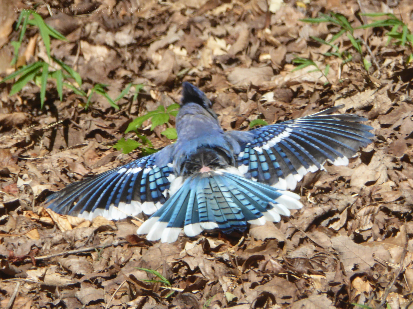 """June 29, 2016 - Blue jay """"spread-eagle"""" on the ground"""