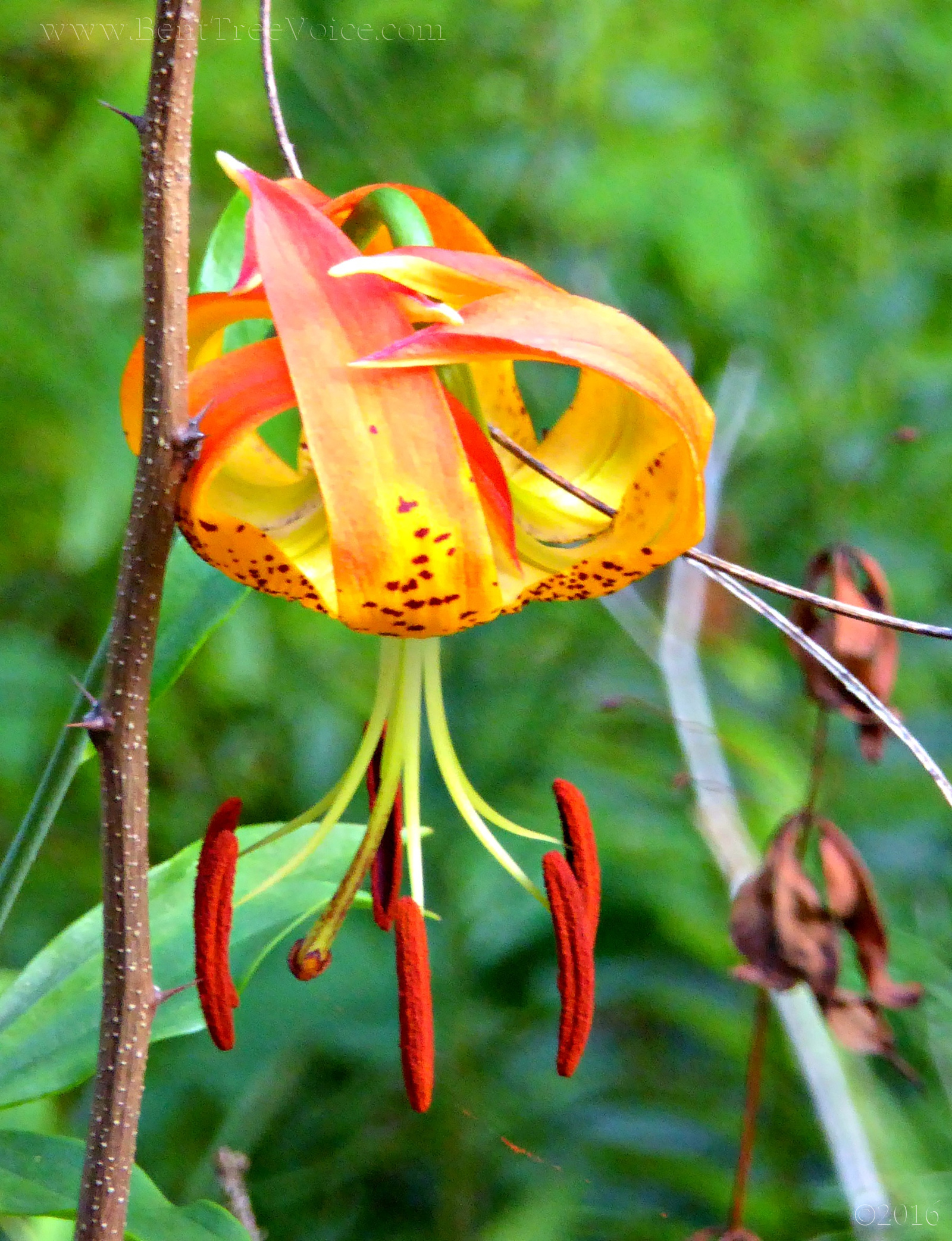 July 19, 2016 - Turk's Cap Lily in Bent Tree