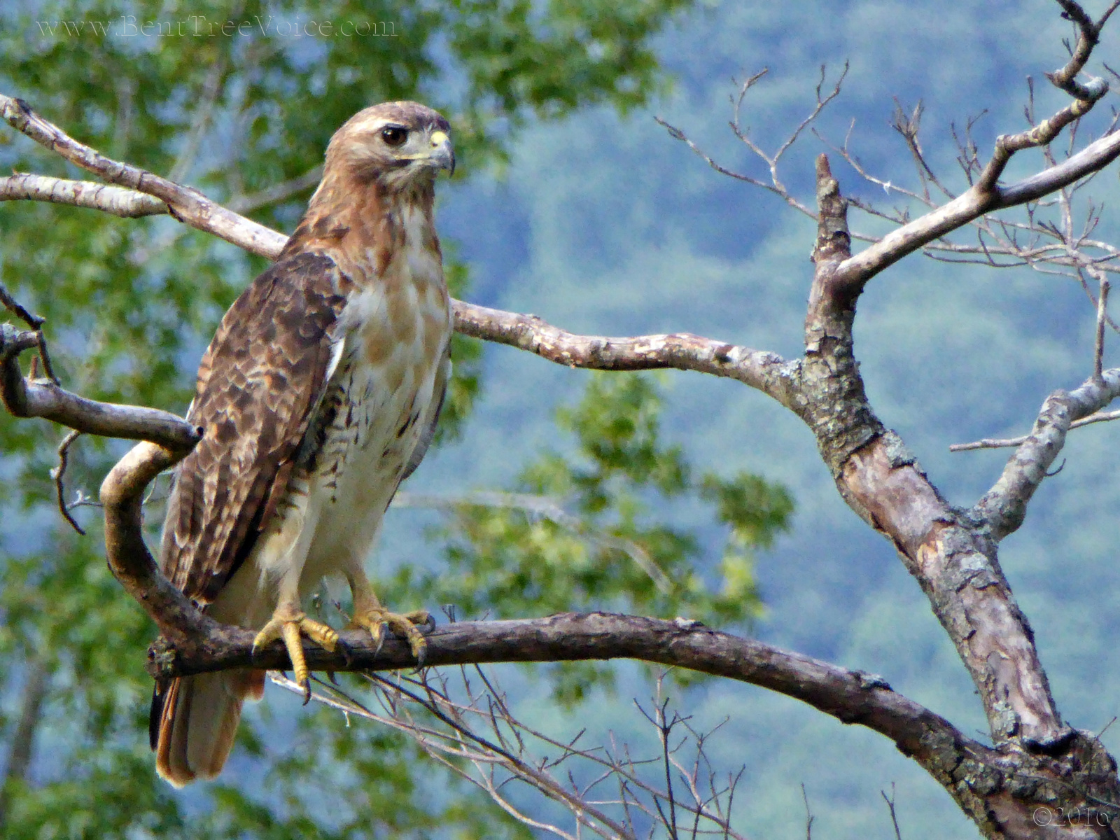 August 1, 2016 - Red-tailed Hawk in Bent Tree