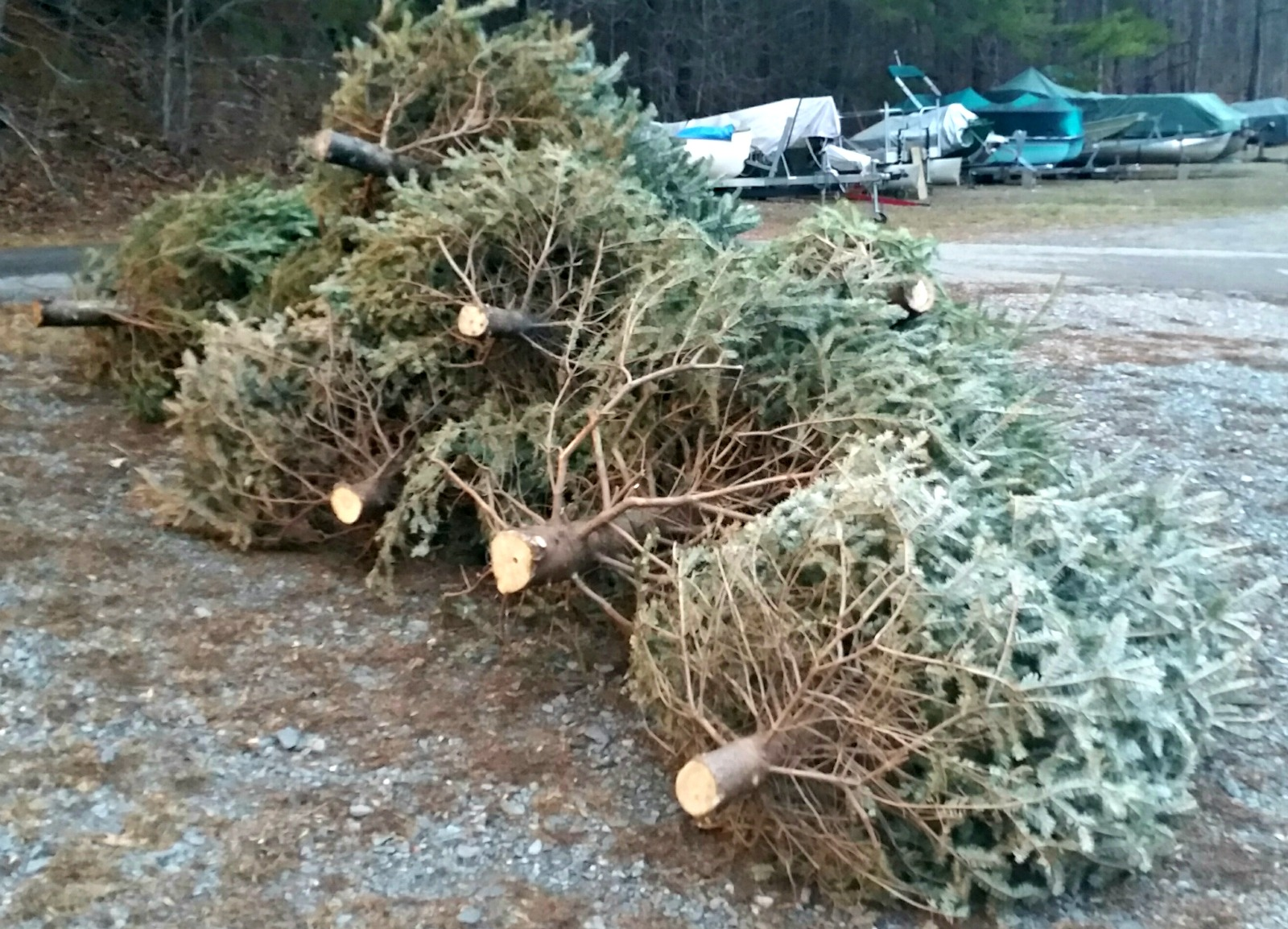 January 6, 2017 - Christmas trees left at the boat storage area