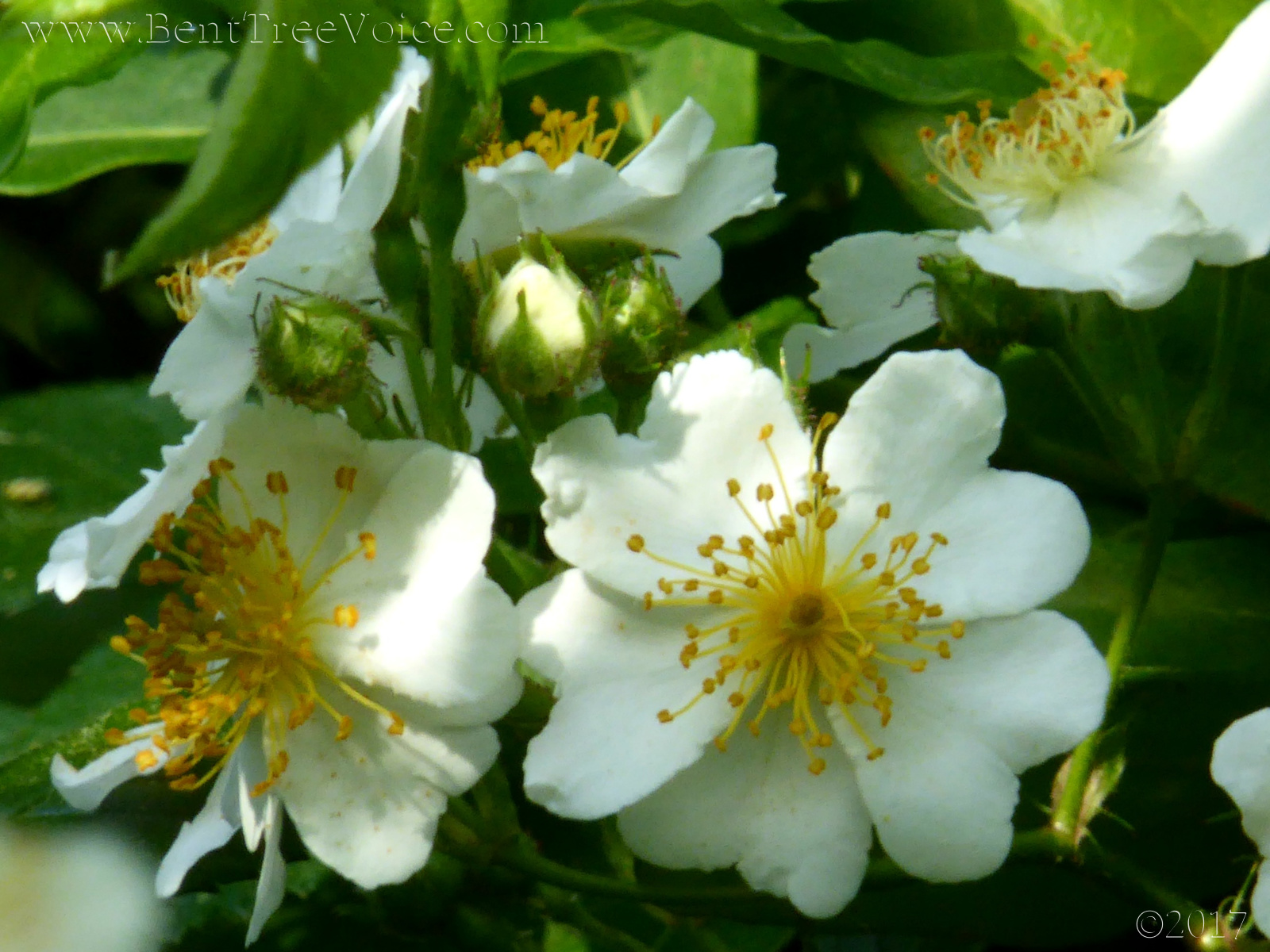 April 16, 2017 - Cherokee Rose in Bent Tree
