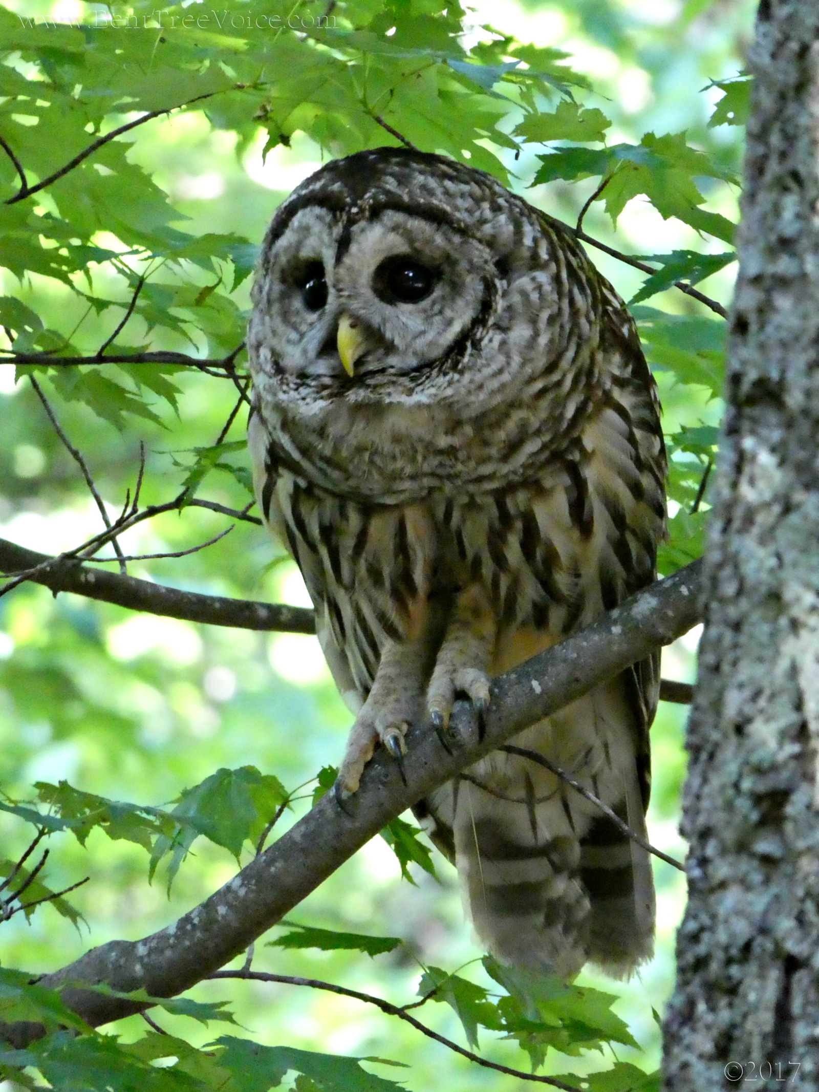 May 18, 2017 - Barred Owl in Bent Tree