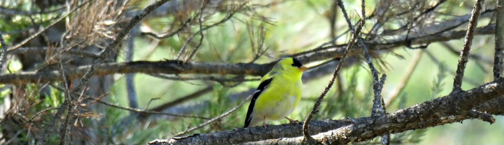 May 14, 2017 - Goldfinch on limb of dead pine tree in Bent Tree