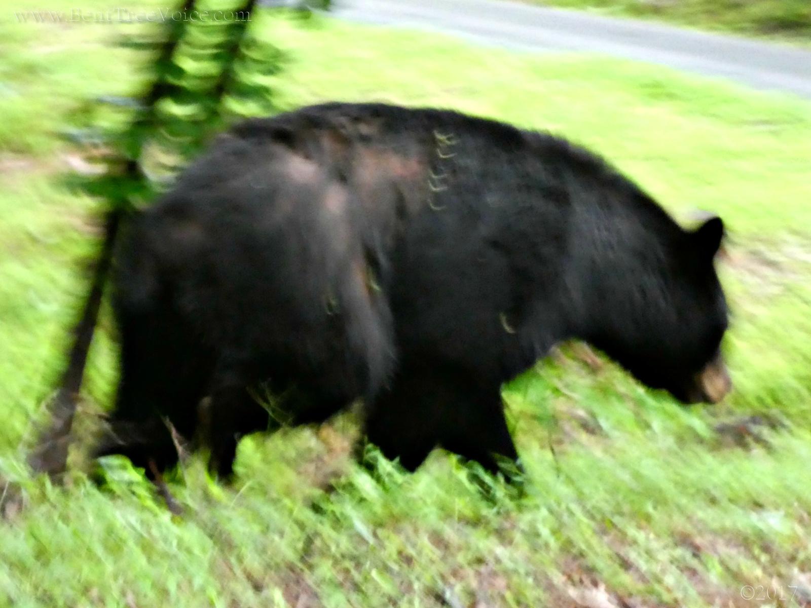 2017 0605 bear
