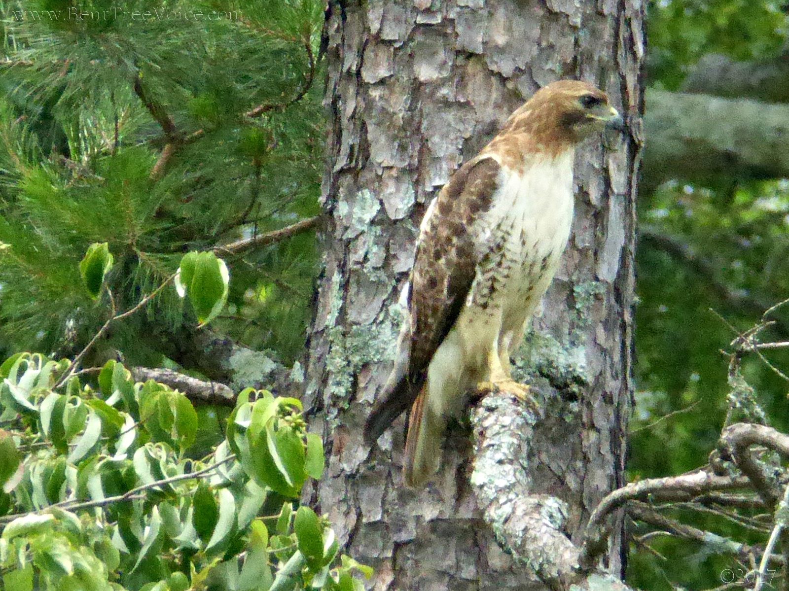June 20, 2017 - Hawk that tried to steal a meal, but failed