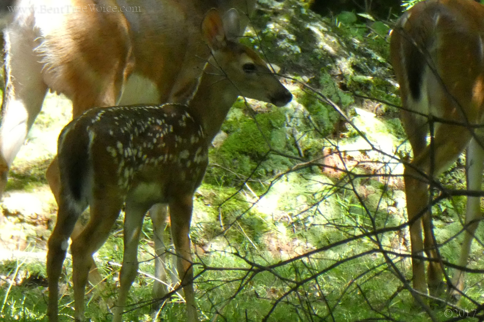 July 18, 2017 - fawn and does in Bent Tree