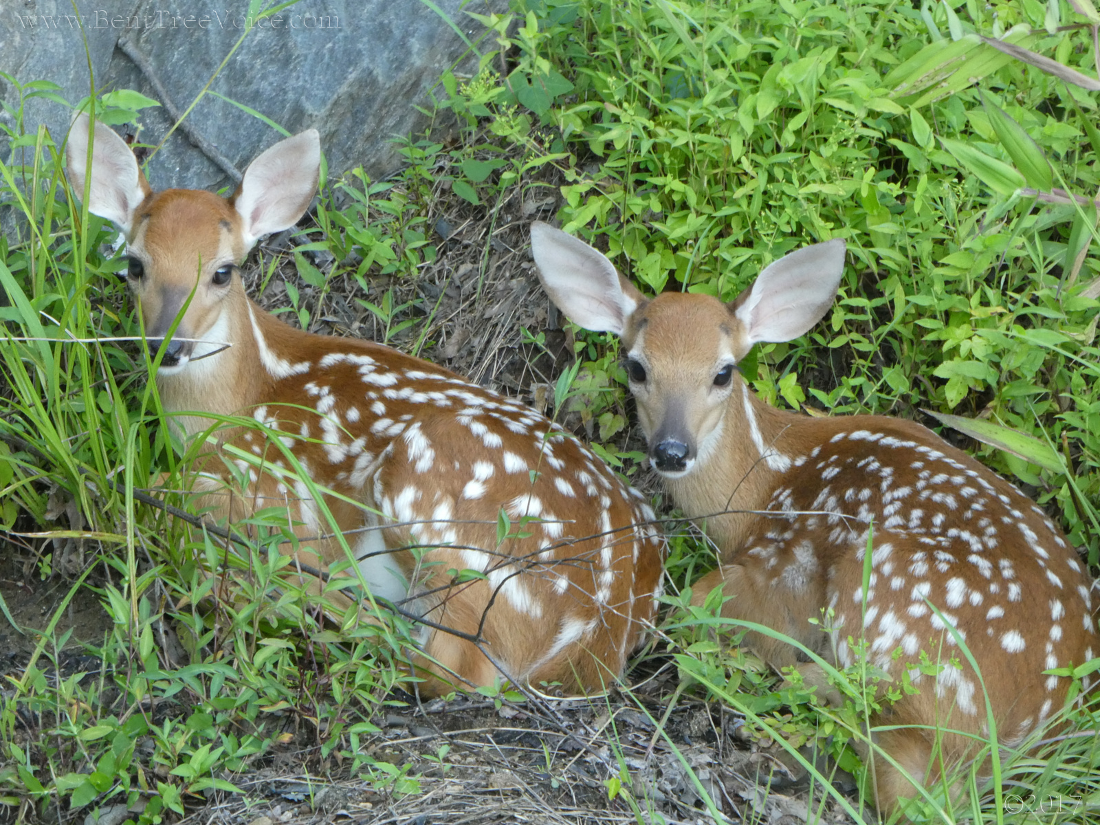 2017 0719 twin fawns 2