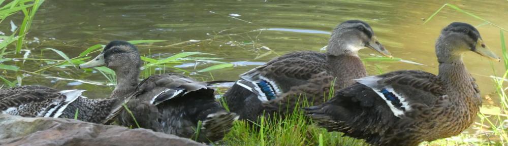 cropped-P1090064-2017-0730-ducks-spillway.jpg