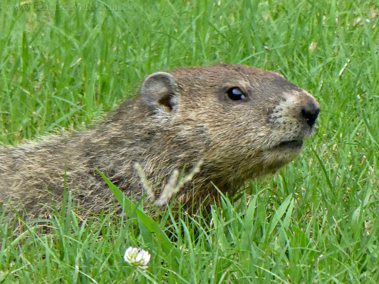 July 24, 2017 - Groundhog in Bent Tree
