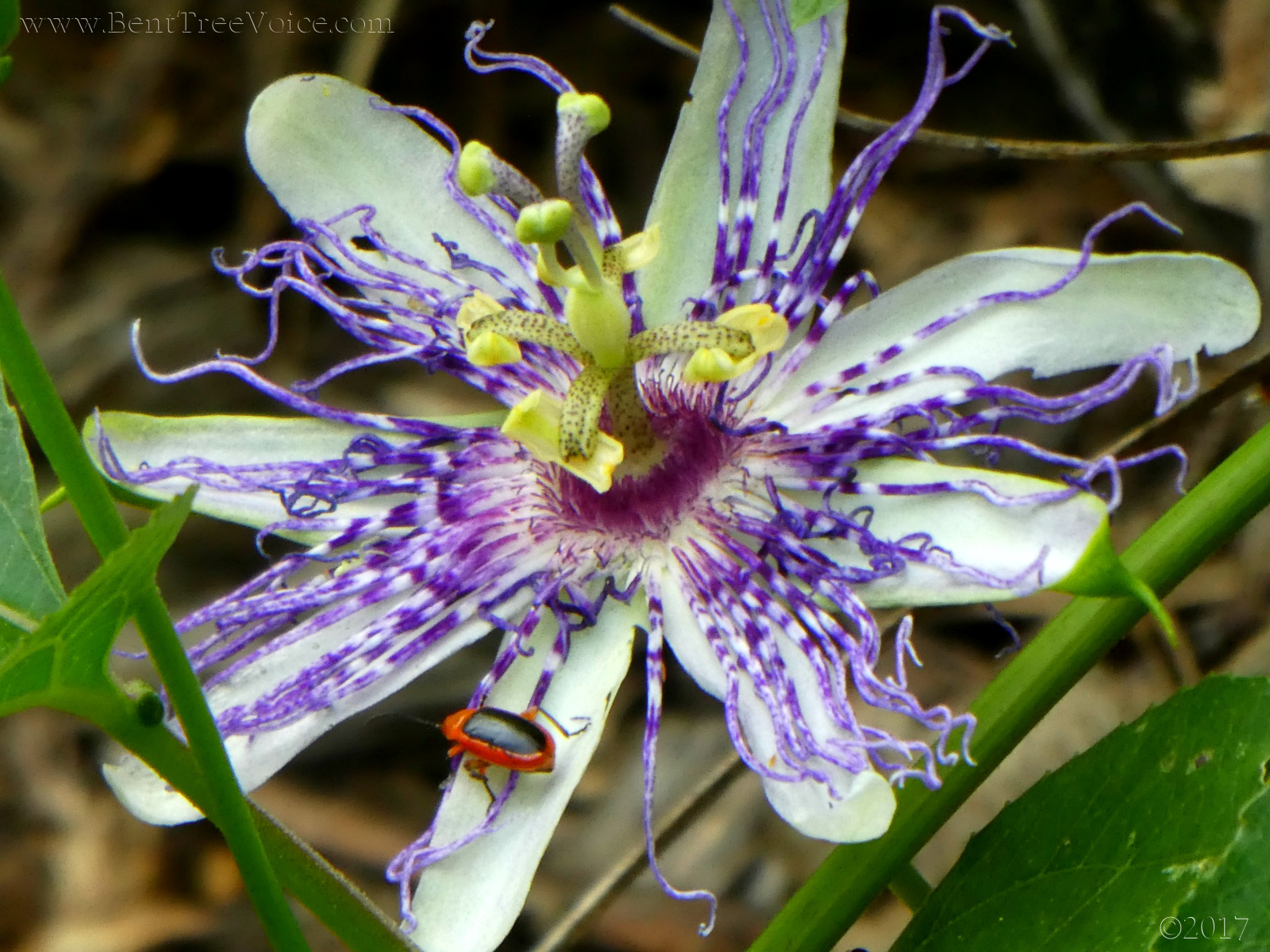 August 6, 2017 - native passionflower vine in Bent Tree