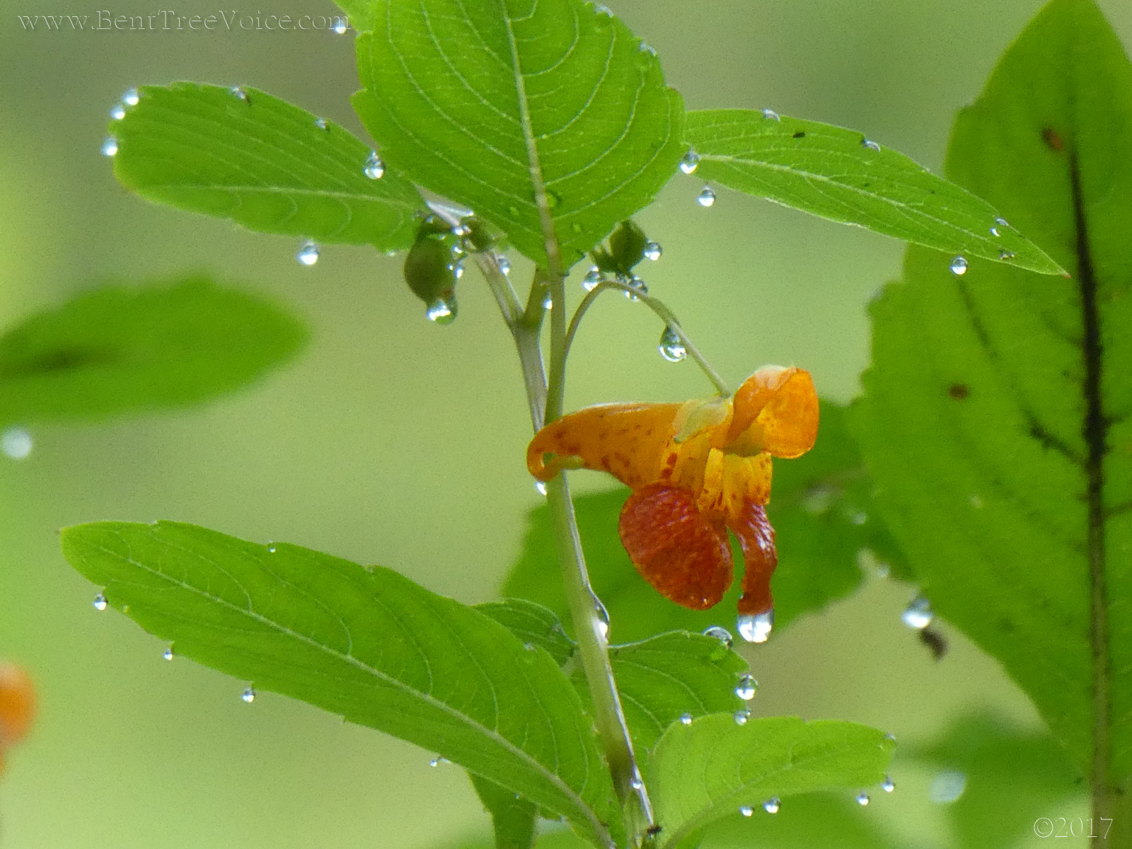 August 13, 2017 - Jewelweed in Bent Tree