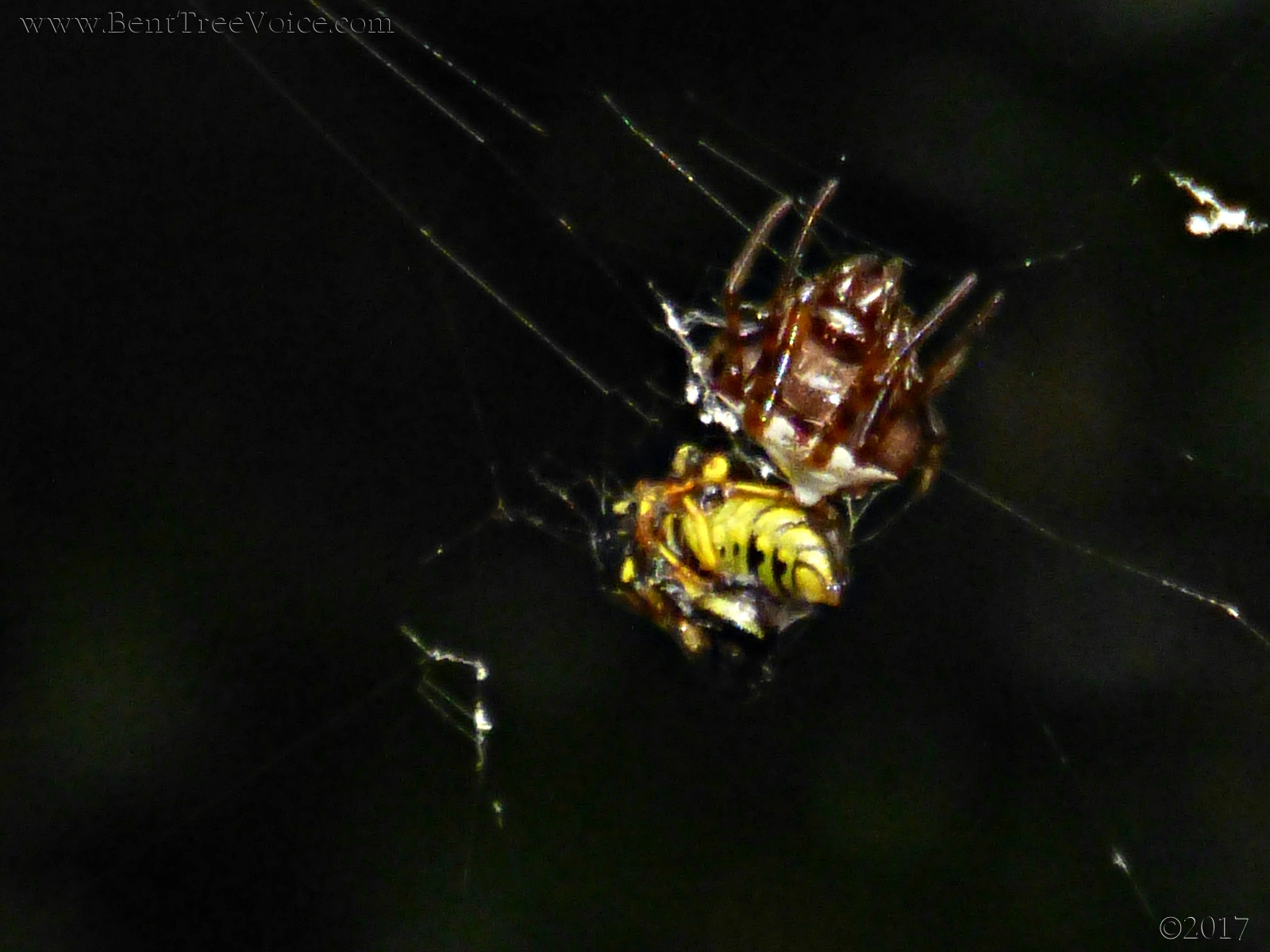 September 14, 2017 - Spider vs Yellow Jacket in Bent Tree (click image to zoom)