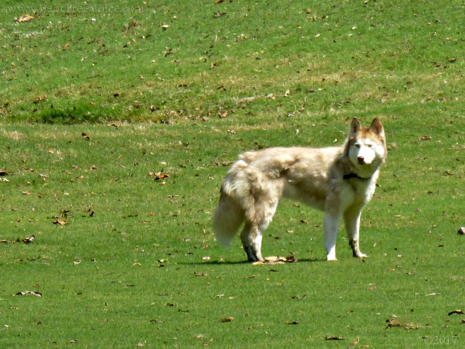 September 17, 2017 - Not a wolf on Hole 12