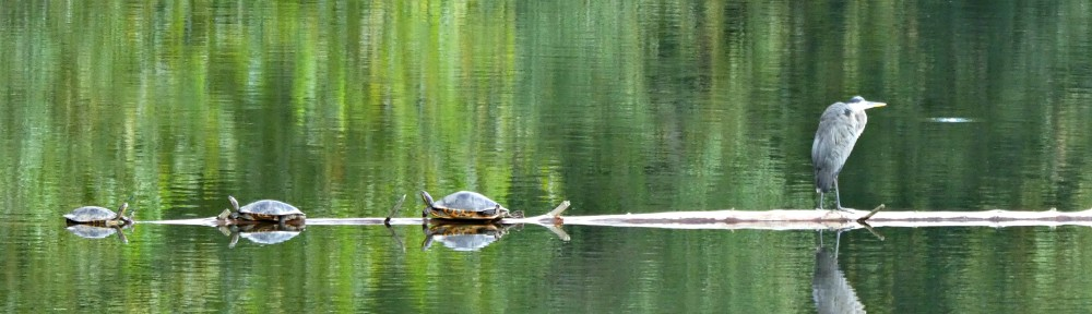 September 15, 2017 - Heron and turtles on Turtle Log