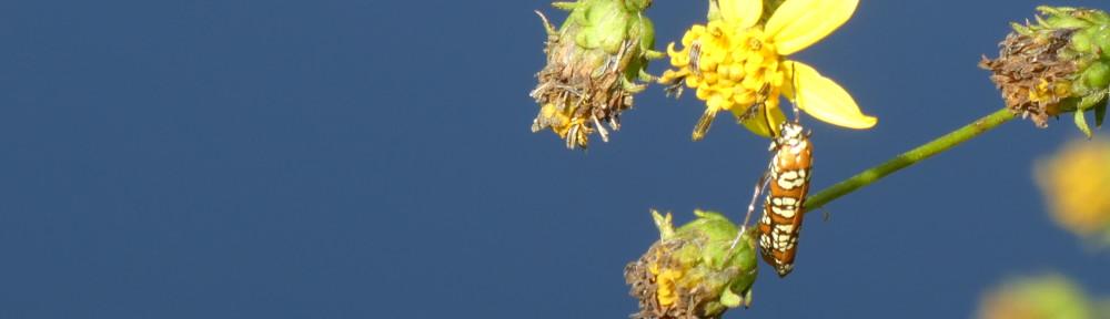 cropped-P1140028-2017-0917-Ailanthus-Webworm-moth1.jpg