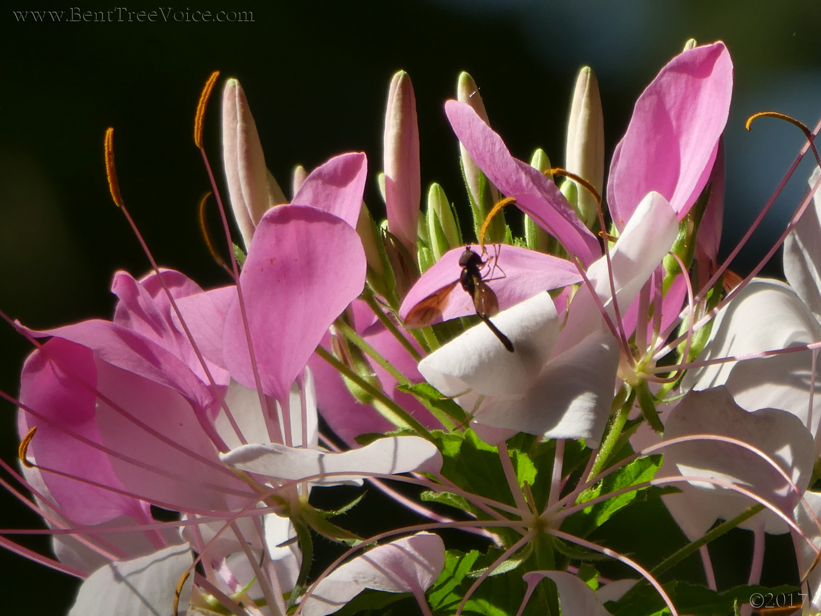 September 3, 2017 - Cleome blooming in Bent Tree