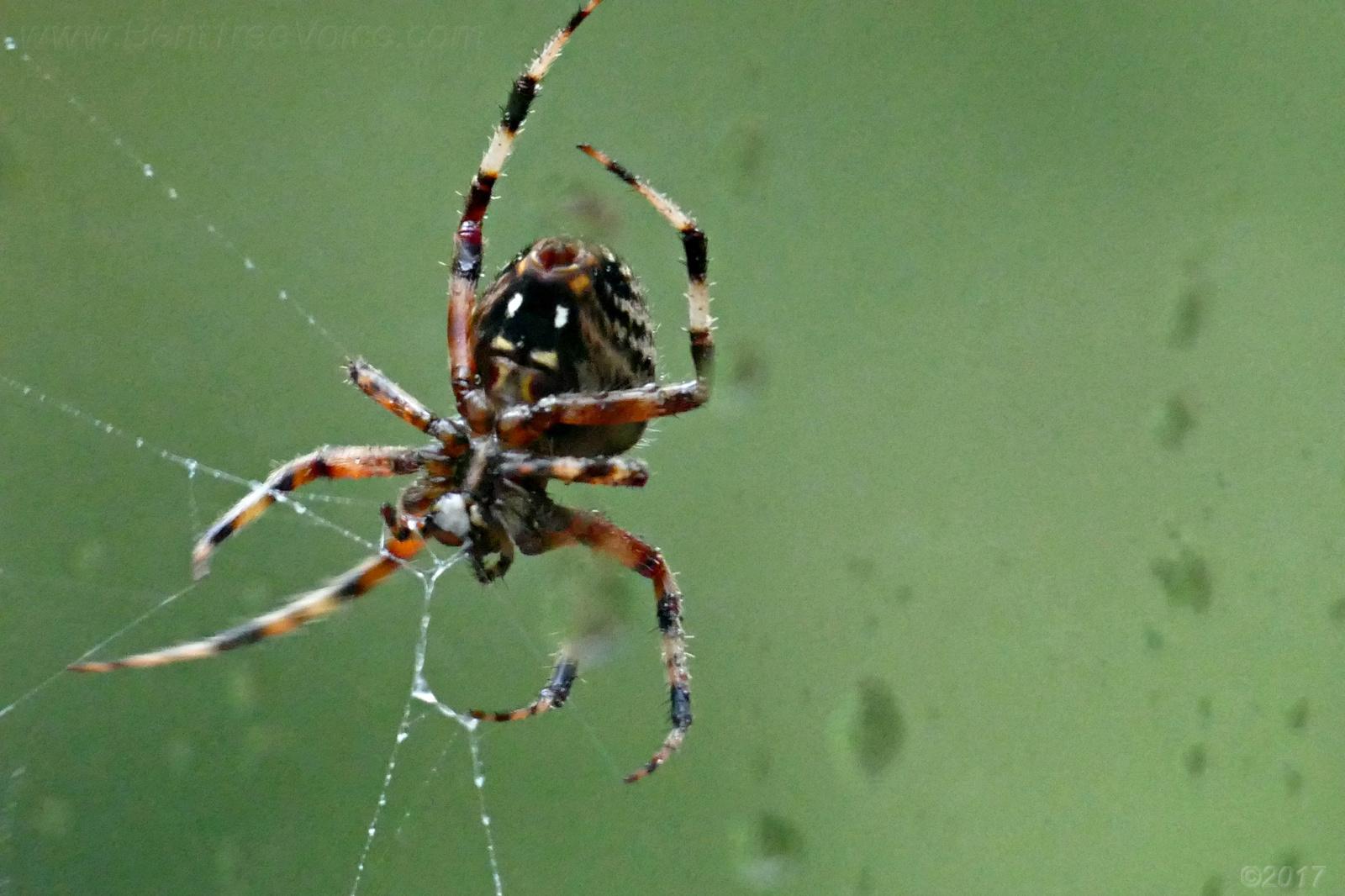 October 8, 2017 - Orb weaver spider in Bent Tree