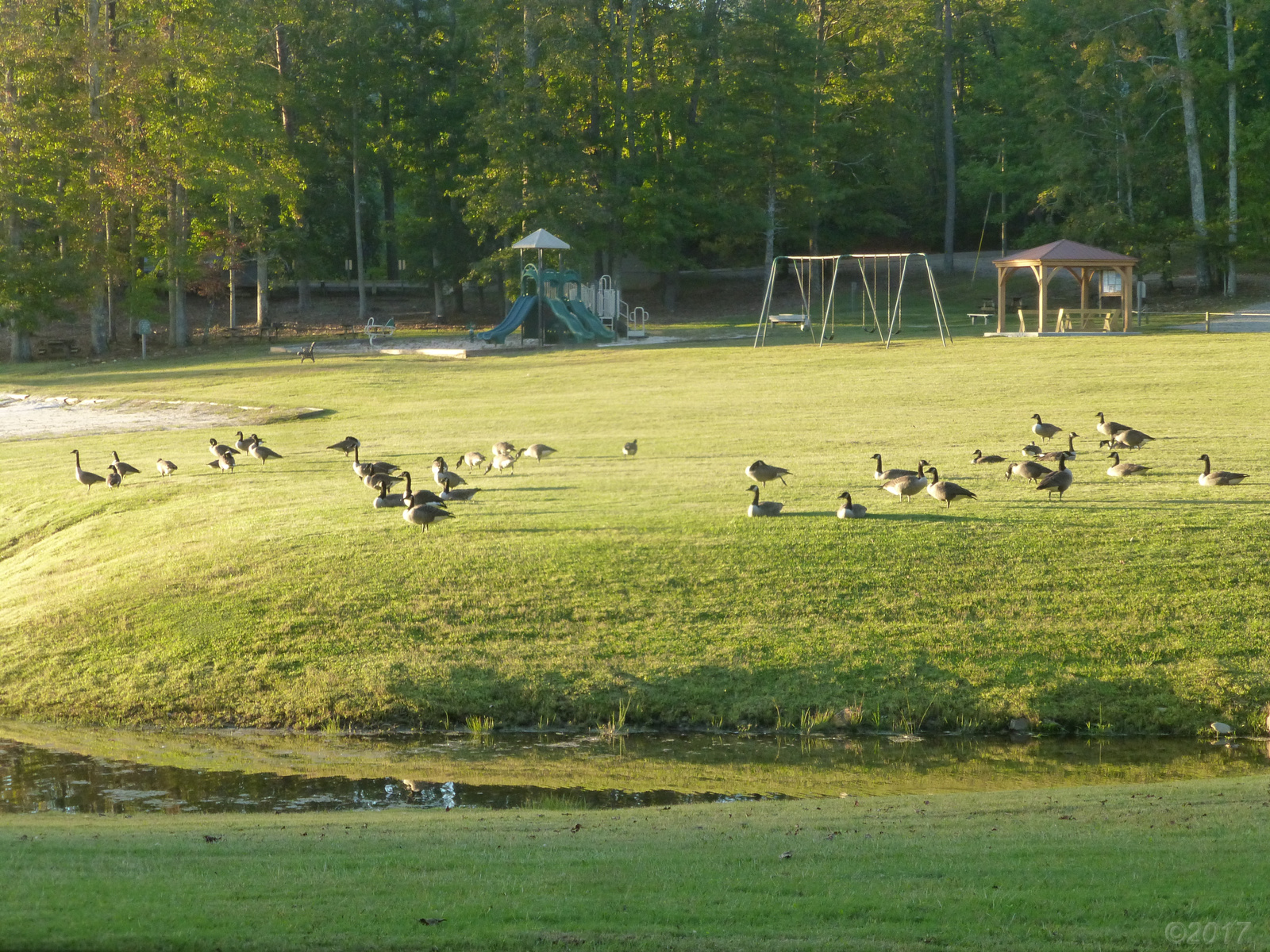 October 12, 2017 - Forty geese were enjoying the setting sun on the freshly mown grass near the beach.