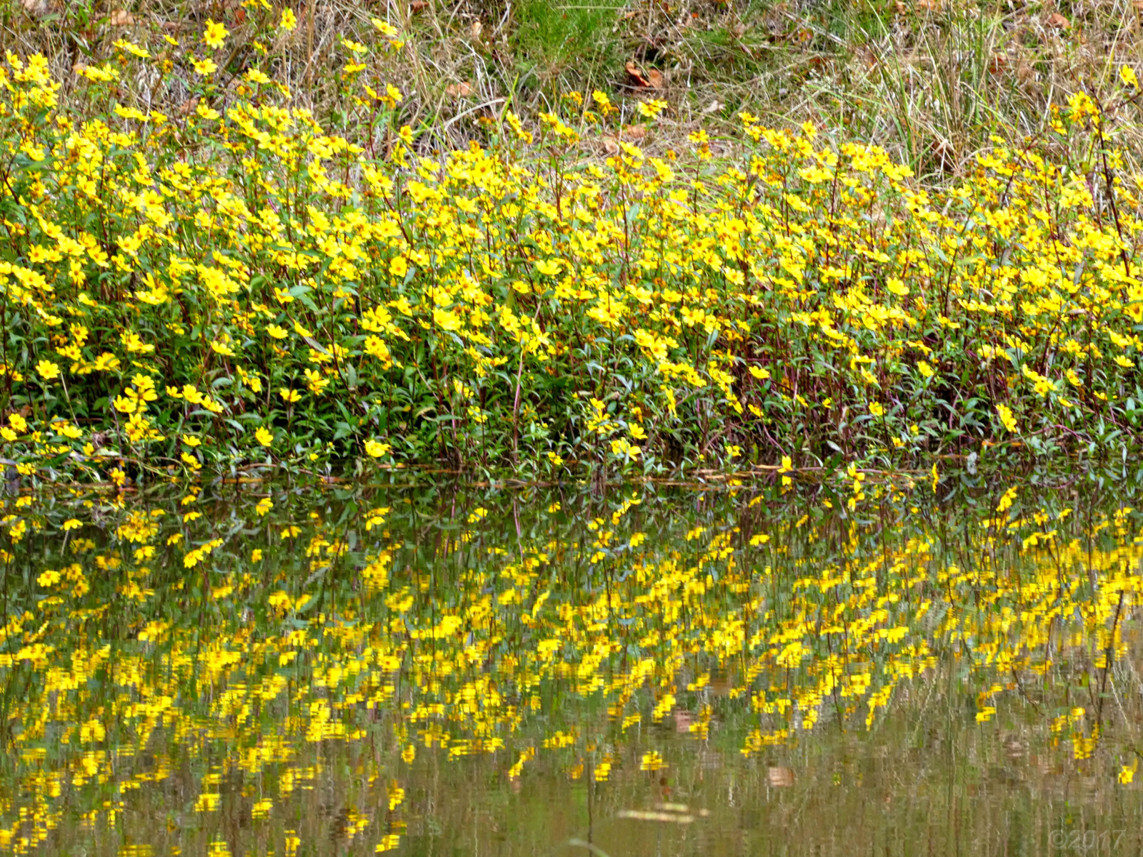 November 3, 2017 - Flowers growing along the pond on Hole 3