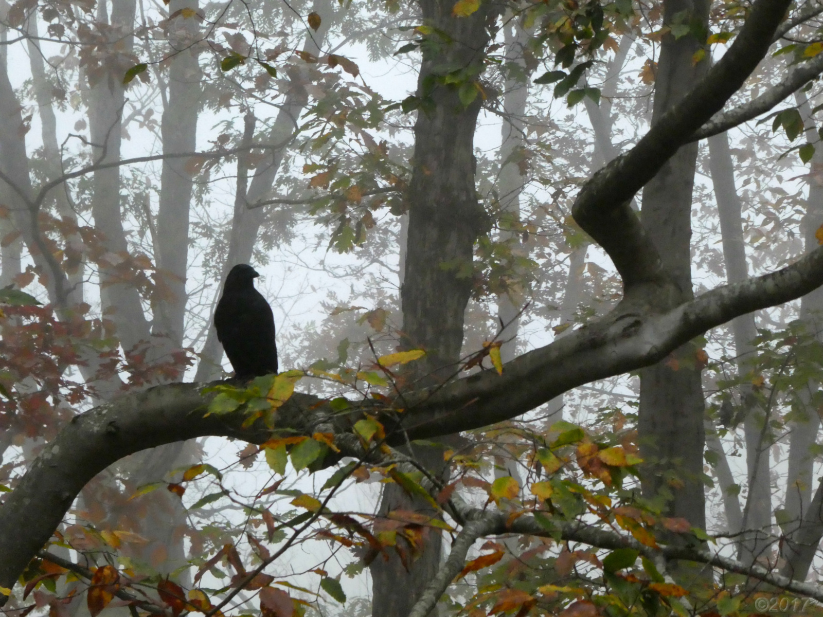 November 8, 2018 - Crow in foggy Bent Tree