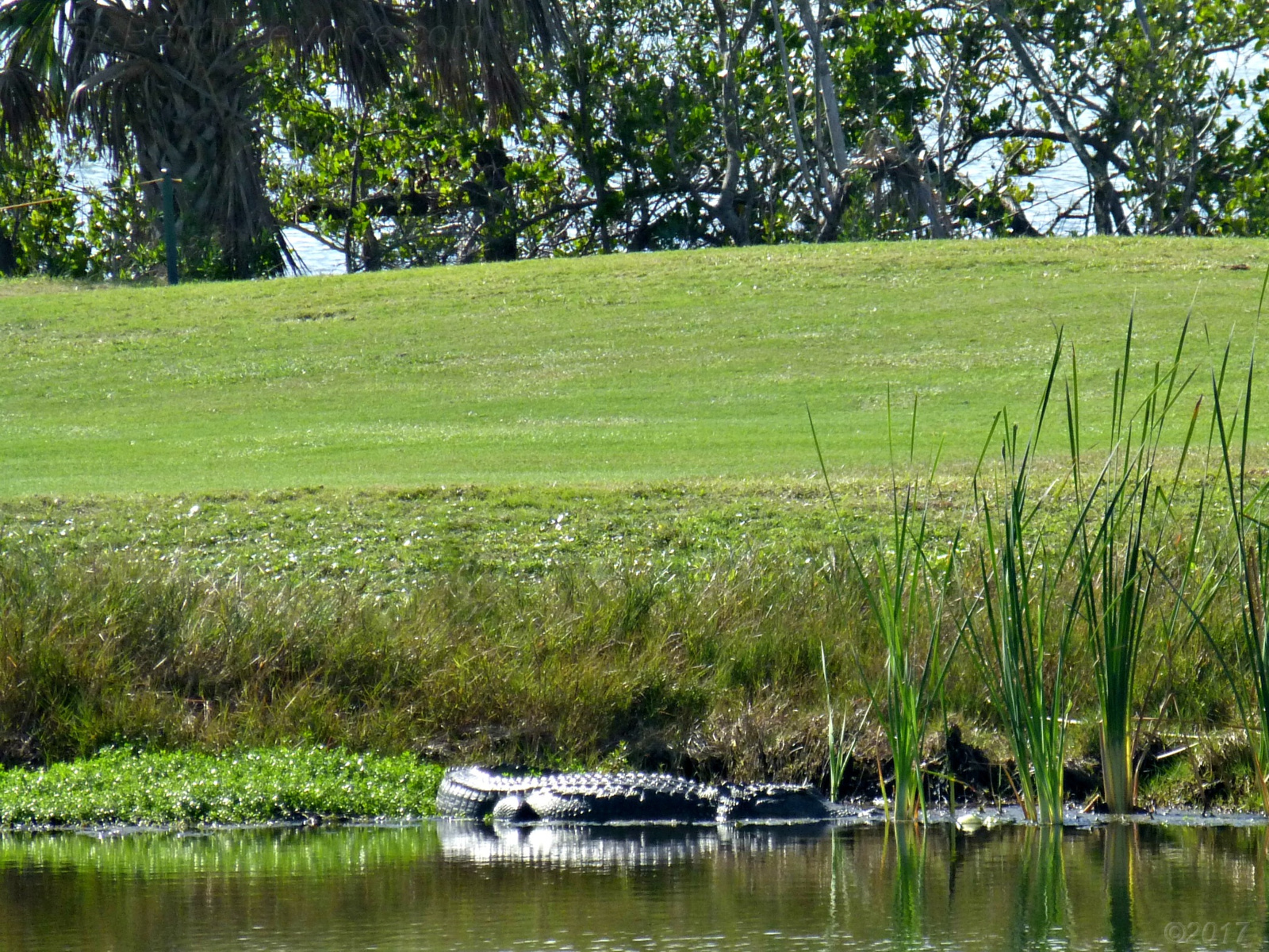 December 6, 2017 - alligator on Florida golf course
