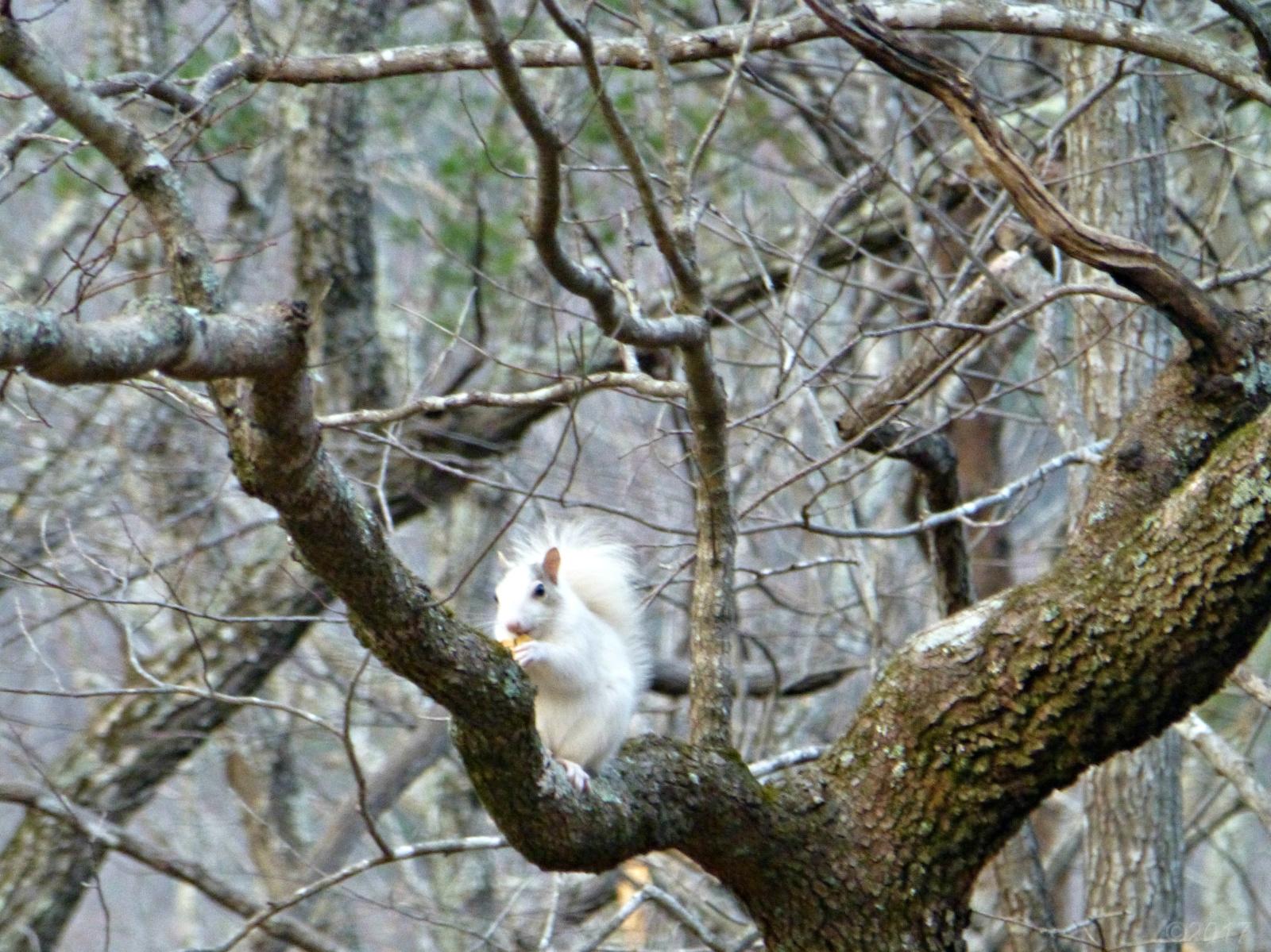 December 21, 2017 - White squirrel in Bent Tree