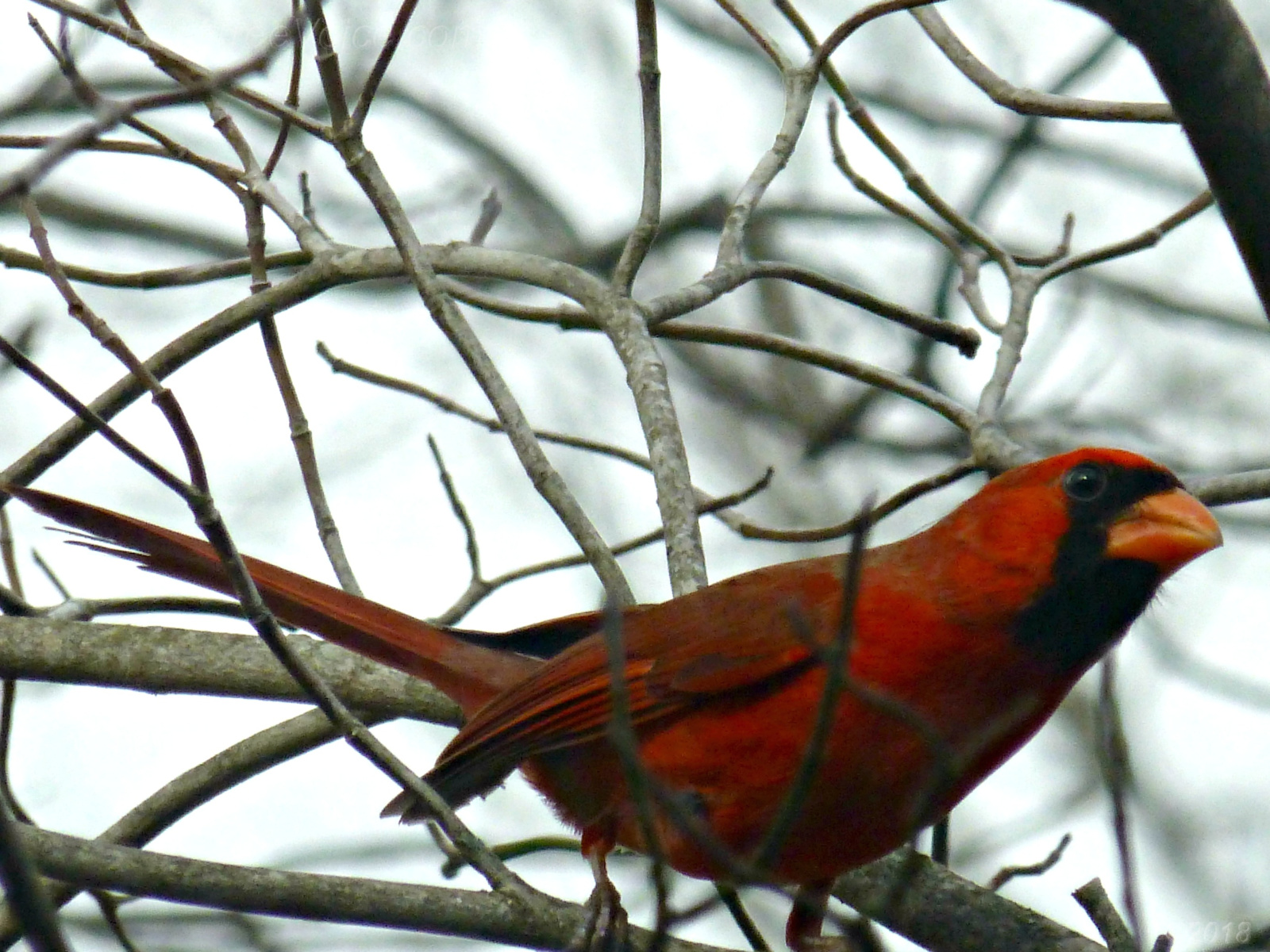 February 21, 2018 - male cardinal in Bent Tree