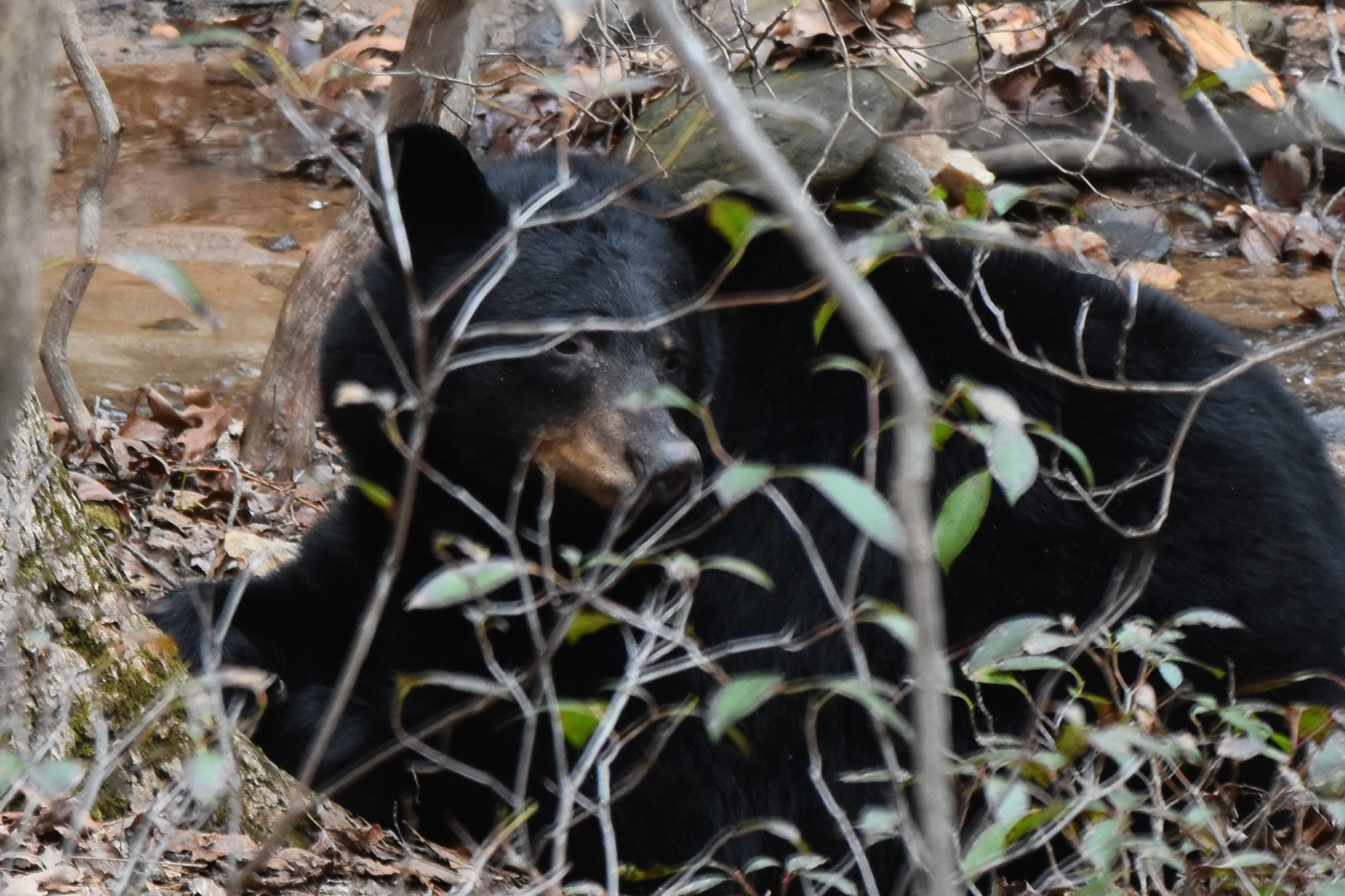 February 2018 - Black Bear in Bent Tree