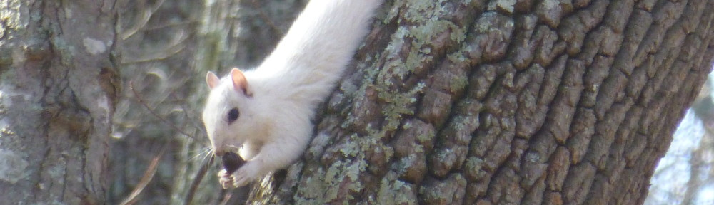 White Squirrel in Bent Tree
