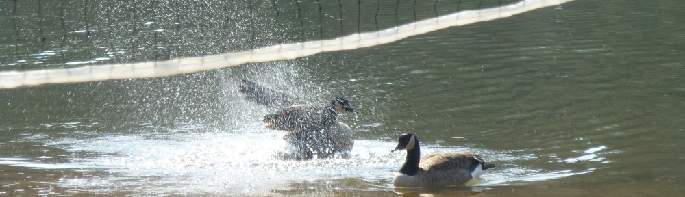 cropped-P1720203-2018-0222-splish-splash-geese.jpg