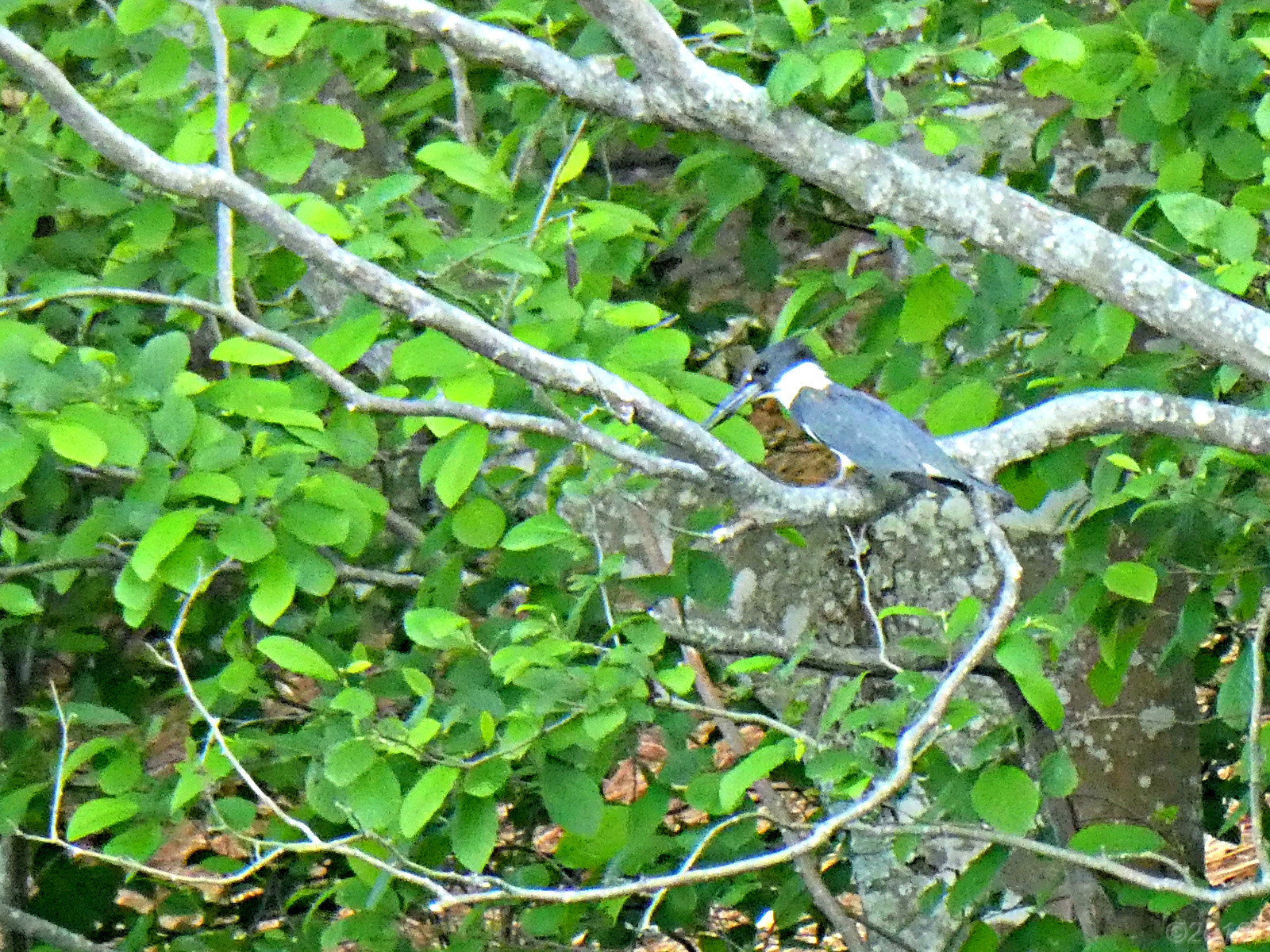 May 17, 2018 - Belted Kingfisher in Bent Tree
