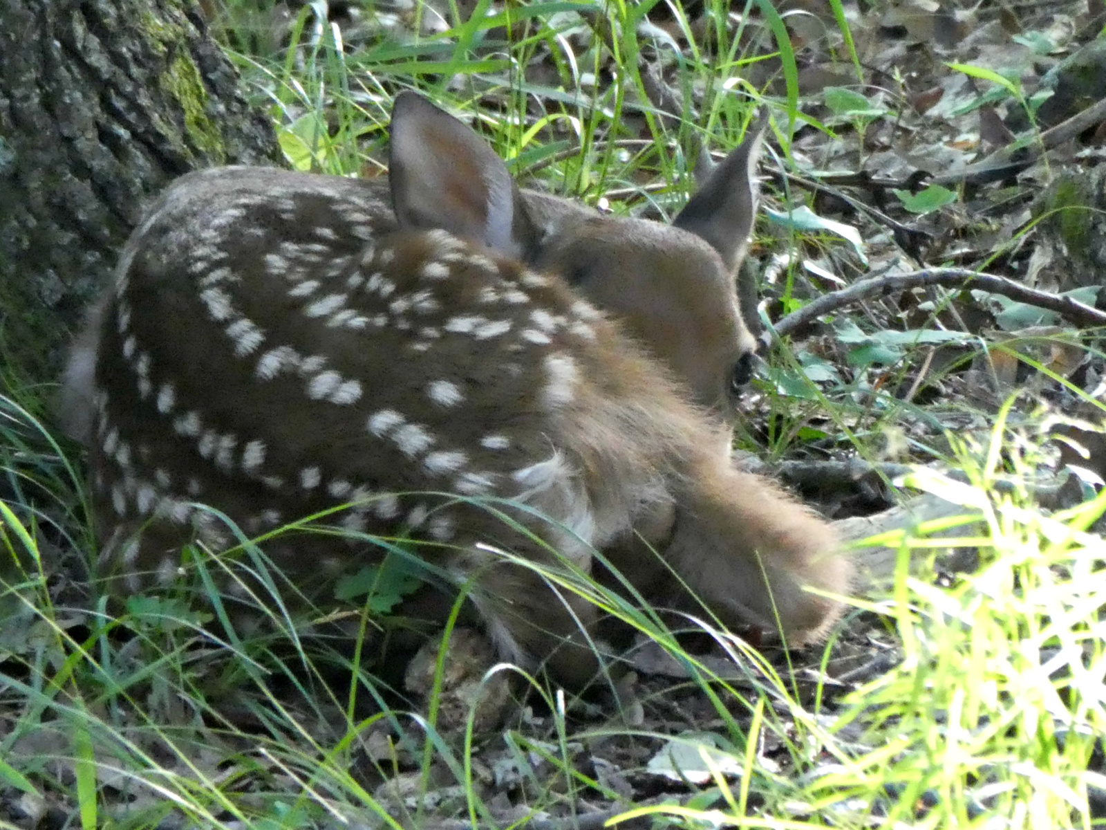June 10, 2018 - Fawn in Bent Tree